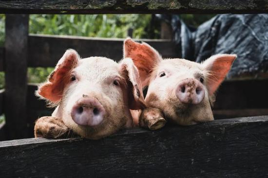 """养殖户给猪安乐死 中国网友直呼""""可惜"""""""
