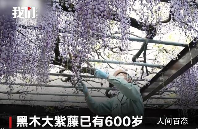 600岁巨型紫藤花被全部剪掉 为防游客聚集