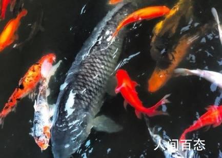 明星鱼莽子被吃掉 两男两女自首被行拘
