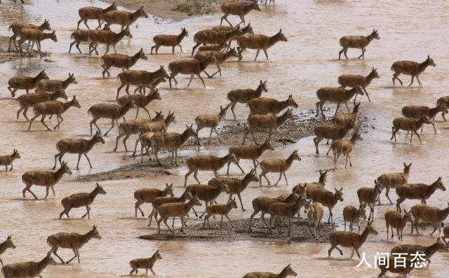 藏羚羊大规模迁徙 开启一年一度大规模迁徙