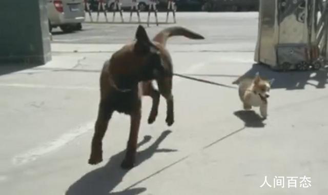 警犬叼回走失小柯基 每次溜达回来总会叼些废瓶子