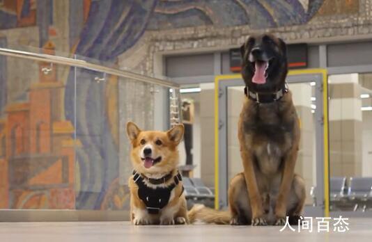 俄罗斯唯一一只柯基警犬退休 9岁的Ryzhiy退休了