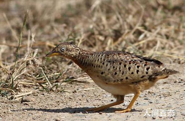 贵州山中龙吟为鸟类发出声源 系一种名为黄脚三趾鹑的鸟类发出