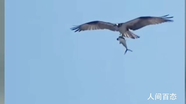 巨大老鹰从海中抓起一头鲨鱼 一网友捕捉到这一罕见画面