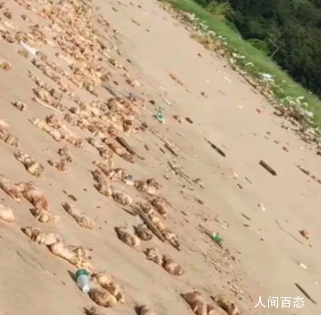 东莞海滩出现大量猪蹄 目前多部门已介入调查