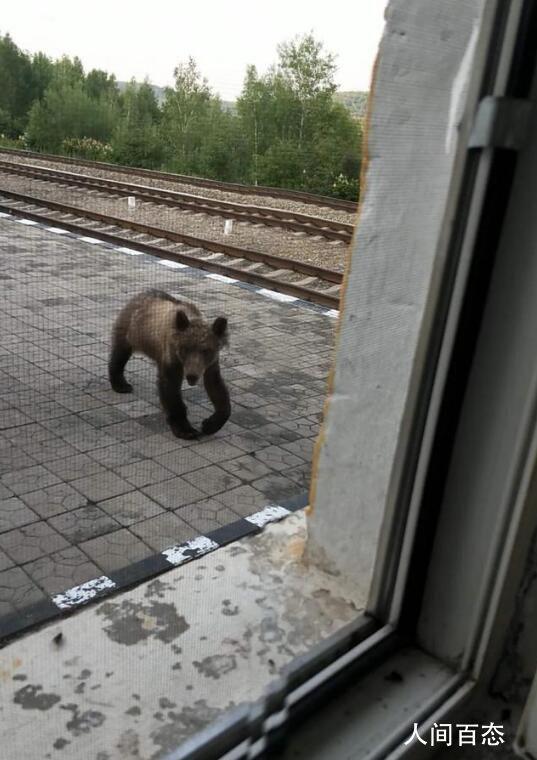 呼伦贝尔哈达火车站惊现黑熊 正在到处寻找食物