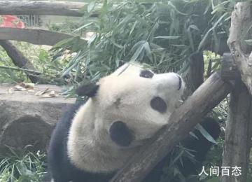 北京动物园网红大熊猫突然头秃 目前饲养员和兽医已经开始上药