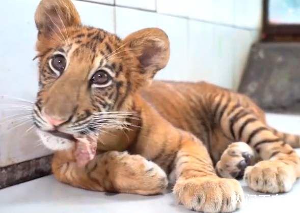 世界唯一虎狮虎兽宝宝满百天 虎狮虎兽能生育吗