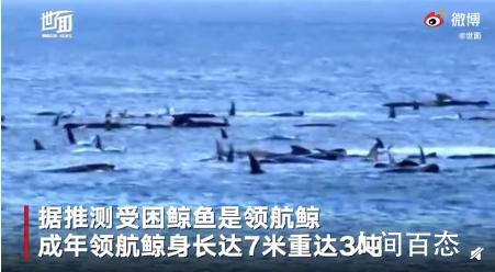 澳大利亚海滩数百头鲸鱼搁浅 鲸鱼搁浅的原因有哪些