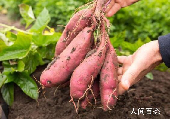 农业专家用牵牛花嫁接出空中红薯 硕大的体型让人惊奇