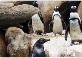同性恋公企鹅再偷蛋 两只雄性企鹅轮流看守这个有两个蛋的鸟巢