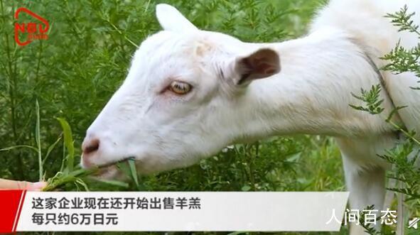 日本推出租羊吃草业务 小羊们的除草能力很强