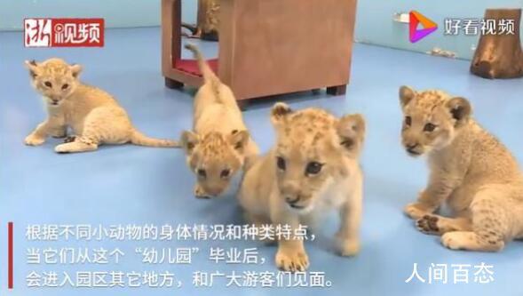 浙江湖州诞生4只小金虎 数量比大熊猫还要稀少