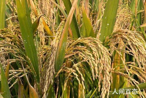 袁隆平团队双季稻晚稻亩产911.7公斤 第三代杂交水稻新组合试验示范基地迎来晚稻测产