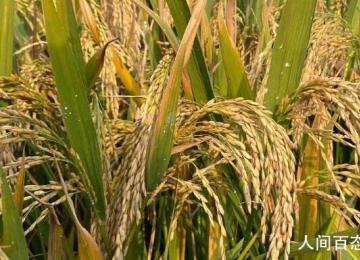 袁隆平团队双季稻亩产超过3000斤 619.06公斤+911.7公斤