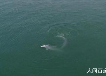 中华白海豚浪漫求偶画面 情意绵绵姿态优美