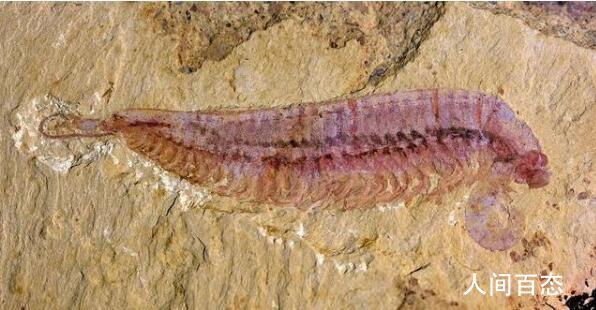 5亿年前虾形化石 节肢动物怎样演化而来