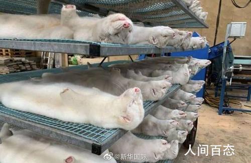 美国超1.5万只貂死于新冠病毒 对十多家养貂场实施隔离检疫