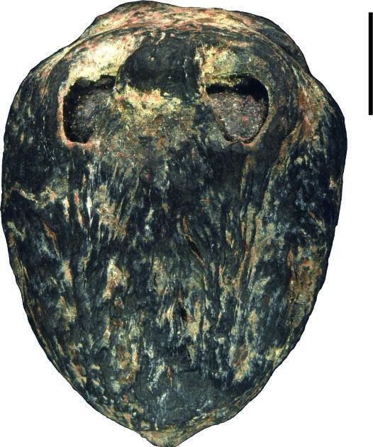1500万年前的枣被发现 形态结构与现代南酸枣基本相同
