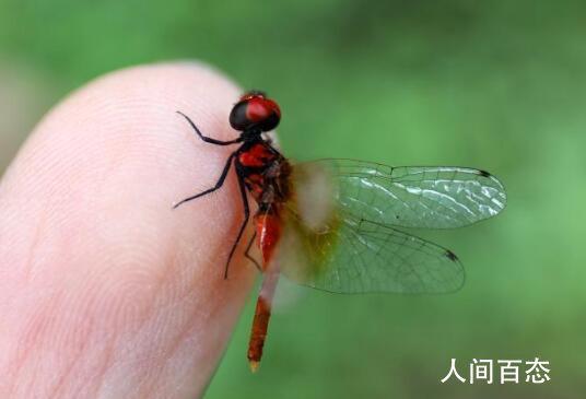 世界最小蜻蜓体长不足15毫米 侏红小蜻目前已知的世界最小蜻蜓个体
