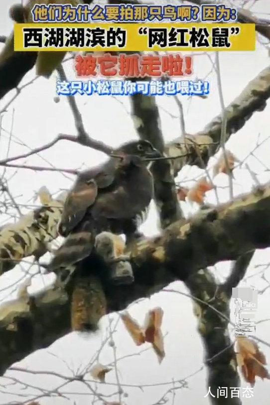 西湖网红松鼠被鹰抓走 多位游客目击了现场