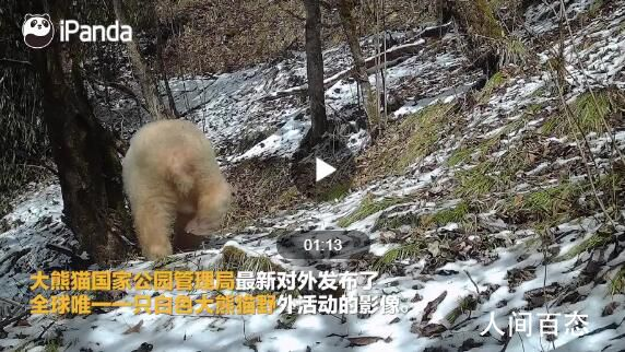 唯一白色大熊猫变金白 山脚的红外线相机记录下它离开的背影