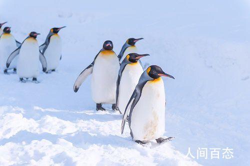 全球首只金色企鹅 黑色羽毛变成了黄色和奶油色