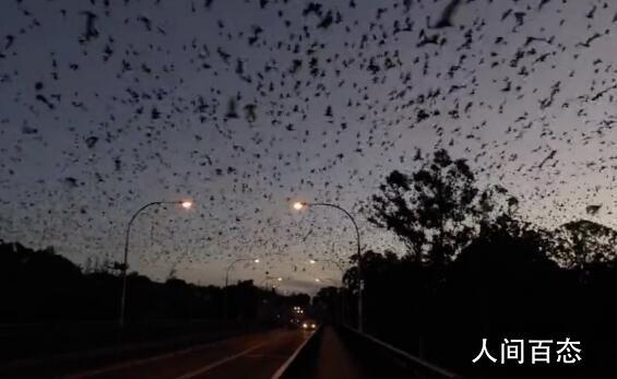 澳大利亚一地遭8万狐蝠入侵 黑压压一片场面十分骇人