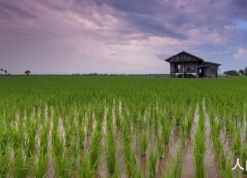 嫦娥五号太空稻移栽 长势良好根系发达