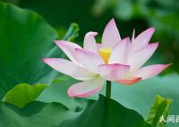 描写莲花的古诗词名句大全 写出描写莲花的名句一览