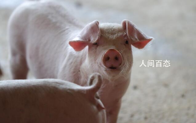 加州希望猪活得好 人们没有肉吃