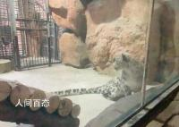 官方回应动物园将展示获救野生雪豹 发布未经批准雪豹将放归