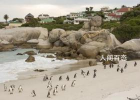 南非63只非洲企鹅被蜜蜂蛰死 地上也布满死亡的蜜蜂