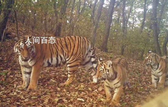 东北虎豹国家公园正式成立 进入发展新阶段