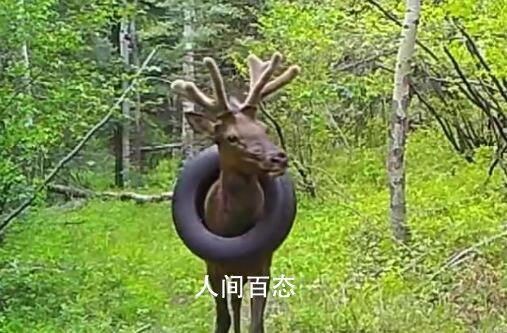 野生麋鹿戴了2年的轮胎被取下 脖子并没有因为2年来一直戴着这个轮胎而受重伤